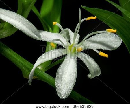 A White Chlorophytum Comosum Flower In A Branched Inflorescence. Each Flower Has Six Three-veined Te