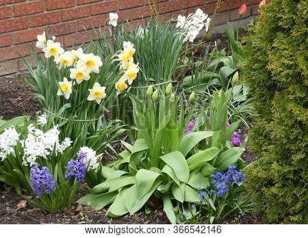 Narcissuses And Hyacinthes On The Flower Bed