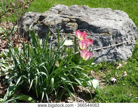 Three Pink Tulips On The Flower Bed