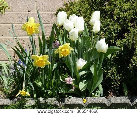 Tulips And Narcissuses  On The Flower Bed