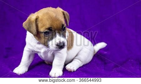 Curious Puppy Bitch Jack Russell Terrier Sitting On A Purple Bedspread. Horizontal