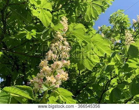 A Flower On A Chestnut Tree. Blooming Chestnut In The Spring. A Green Tree Bloomed In May.