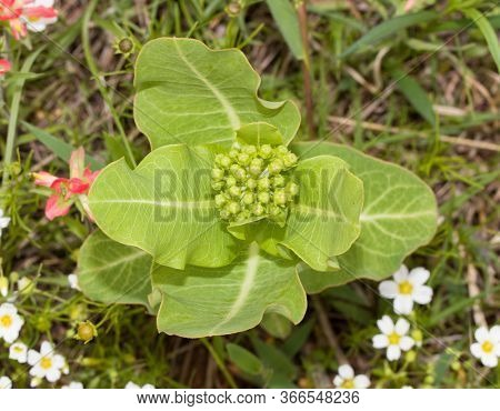 Top view of Broadleaf milkweed, Asclepias latifolia, a native wildflower and a host for Monarch butterfly caterpillars