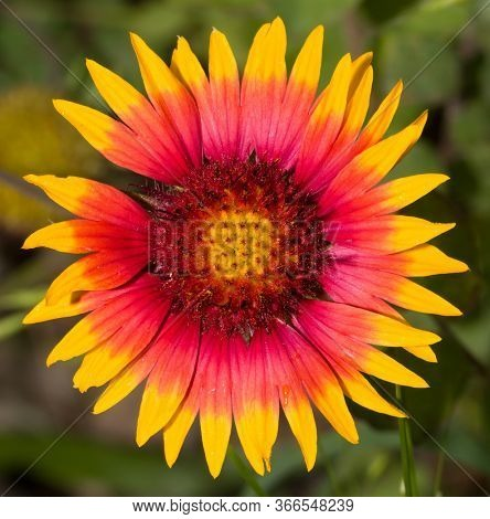 Macro of a brilliant pink, orange and yellow Indian Blanketflower blooming in a summer meadow