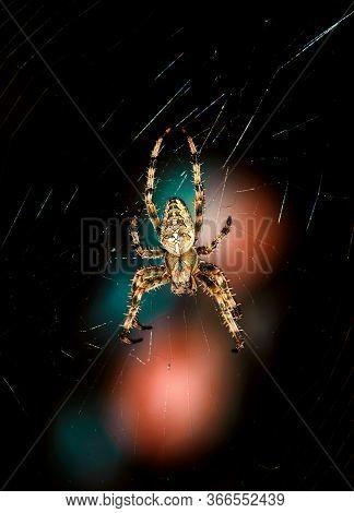 Closeup On A Cross Spider, Also Called European Garden Spider, Diadem Spider Or Pumpkin Spider. Beau