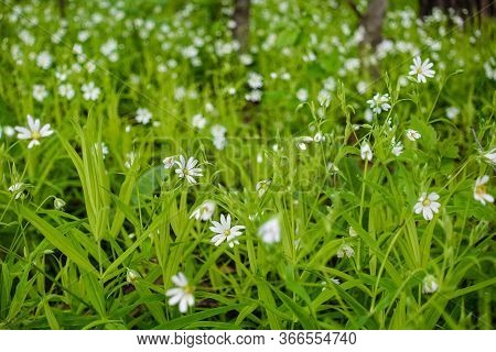 Beautiful Spring Flower Bloom Nature Background, Shallow Depth Of Field Of White Wild Himalayan Cher