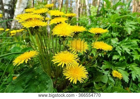 Group Of Large Yellow Dandelions In The Meadow. Early Spring