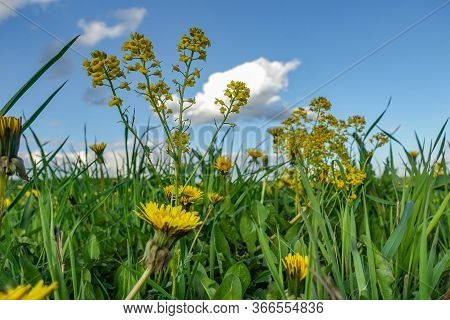 Yellow Wildflowers And A Blue Sky With Clouds.