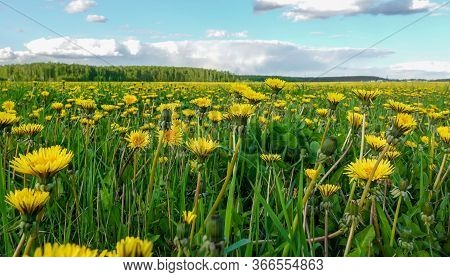 Meadow With Yellow Dandelions And A Blue Sky With Clouds.
