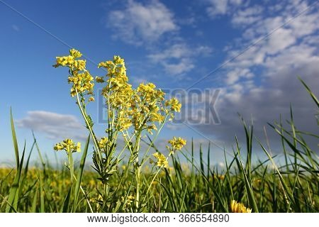 Summer Yellow Flowers And Different Herbs On The Meadow. Wildflower Meadow, Flower Meadow, Wildflowe