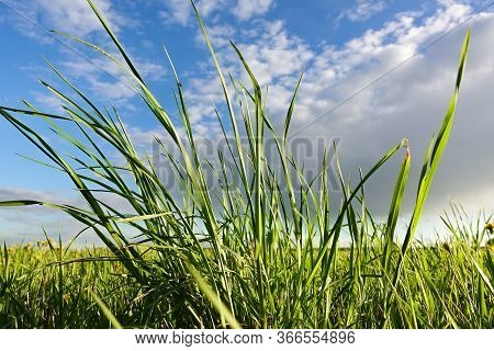 Field Grass On A Background Of Blue Sky With Clouds