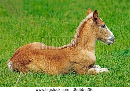 Small Brown Colt Lying In A Meadow On A Warm Sunny Day, Close-up
