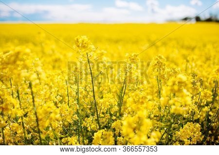 Fabulous Beautiful Yellow Rape Flowers On A Background Of Blue Sky And Clouds. Colza Or Canola Flowe