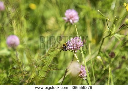 Wild Bee Collects Honey From Mountain Flowers. A Bee Collecting Pollen From A Wildflower, Alps, Dolo
