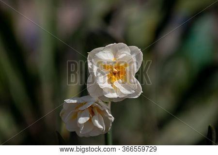Daffodil Flowers In The Field. Daffodil Flower. Daffodil Flowers In The Field. Daffodil Flower.