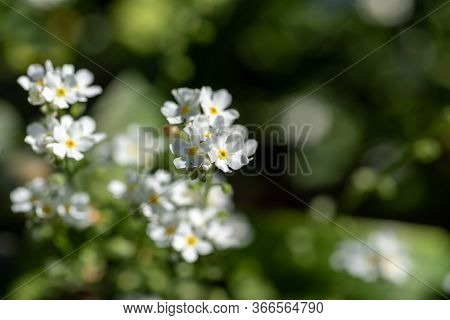 A Picture Of Some White Myosotis Flowers.       Vancouver Bc Canada