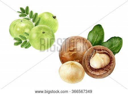Closeup Indian Gooseberry Fruits Amla With Leaf And Macadamia Set Watercolor Illustration Isolated O