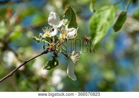 Flying Bee In Apple Flower Pollinating Apple Tree In Spring Blooming Garden. Honeybee Gathering Nect