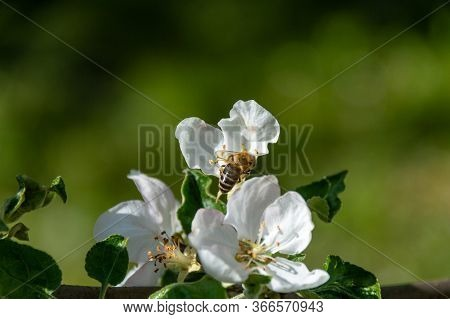Bee In Apple Flower Pollinating Apple Tree In Spring Blooming Garden. Honeybee Gatering Nectar Polle