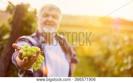 Wine grower holds white grapes as a selection during the grape harvest in the vineyard
