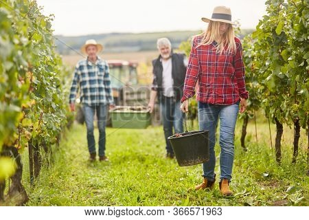 Three harvest helpers during the wine harvest in the vineyard transport grapes