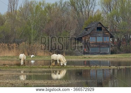 Free Camargue Horses In A Nature Reserve, Naturalistic Image