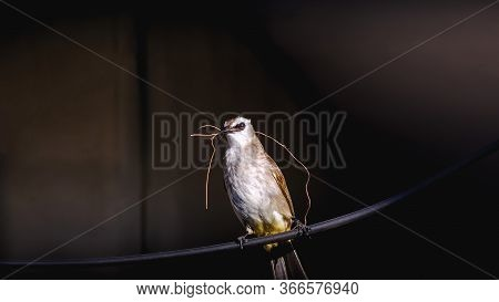 Yellow-vented Bulbul - Pycnonotus Goiavier Or Eastern Yellow-vented Bulbul On The Electric Wire In T