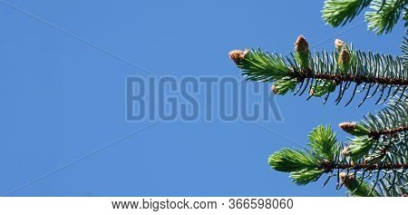 Young Branches Of A Spruce Tree. Blooming Spruce Against The Blue Sky. Spruce In Spring. Copy Space