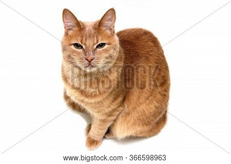 The Red Cat Looks Directly At The Camera, Eyes Narrowed. The Cat Is Isolated On A White Background.
