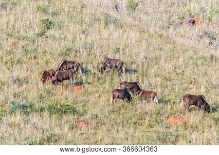 A Herd Of Black Wildebeest, Connochaetes Gnou, On The Slope Of A Mountain At Uithoek Near Fouriesbur