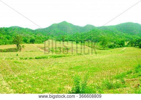 Pineapple Plantation, Planted On A Verdant High Mountain Range.