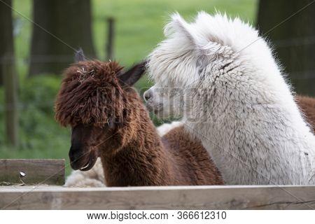 White Alpaca, A White Alpaca In Front Of A Brown Alpaca. Selective Focus On The Head Of The White Al