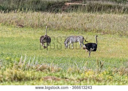 A Burchells Zebra And Male And Female Ostriches With A Chick At Uithoek Near Fouriesburg In The Free