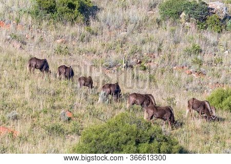 A Herd Of Black Wildebeest, Connochaetes Gnou, Grazing On The Slope Of A Mountain At Uithoek Near Fo