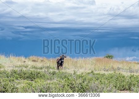 A Black Wildebeest, Connochaetes Gnou, Against Dark Clouds At Uithoek Near Fouriesburg In The Free S