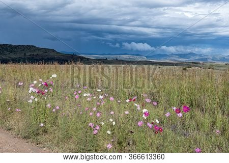 Red, Pink And White Cosmos Flowers, Cosmos Bipinnatus, And Thatching Grass With A Backdrop Of A Brew