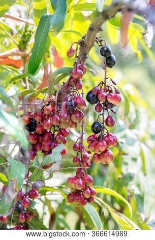 Luna Nut (lepisanthes Fruticosa Leenh) Thailand Fruit . Luna Nut (lepisanthes Fruticosa Leenh) In Na