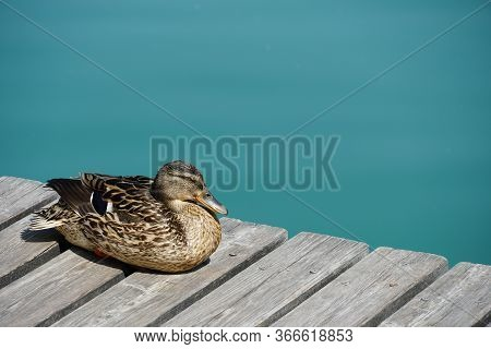 Female Duck Resting On A Boardwalk By The Lake Kaldaro In South Tirol, Italy. Single Water Bird By T
