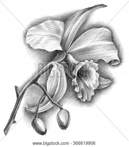 Hand Drawn Botanical Illustration Of Cattleya Orchid With Flower And Buds. Detalized Sketch By Black