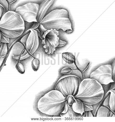 Hand Drawn Botanical Illustration Of Phalenopsis And Cattleya Orchids With Flowers And Buds. Detaliz