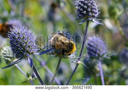 Bumblebee On Blue Flowers Of Eryngium. Bumblebee Pollinates A Flower In The Garden.