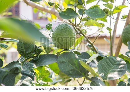 Ripening Fruits Of The Pomelo, Natural Citrus Fruit, Green Pomelo Hanging On Branch Of The Tree . Ri