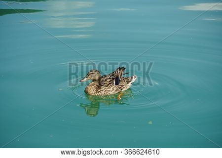 Single Female Duck On The Green Water Of The Lake Kaldaro In Italy Facing To The Right Side Colour H