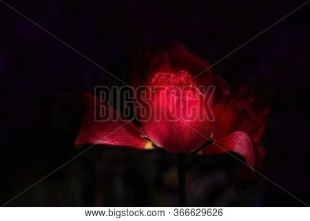 Withered Red Tulip On A Dark Background. Close Up.