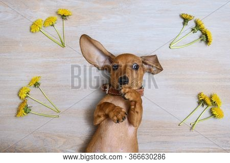 A Red-haired Dachshund Puppy Lies With Its Back On A Vintage Wooden Surface And Looks In Front Of It