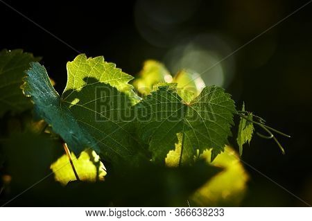 Early Morning, Green, Young Leaves Of The Vineyard, Lit By The Sun.