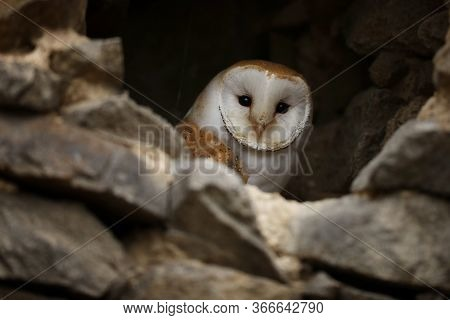 Barn Owl - Tyto Alba - Light Collored  Barn Owl Looking Out Of A Hole In A Wall