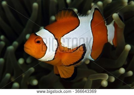 Clown Anemonefish (amphiprion Ocellaris, Aka Ocallaris Clownfish) In Anemone. Triton Bay, West Papua