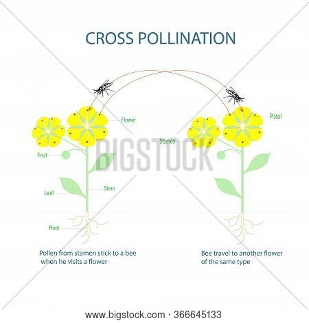 Cross-pollination. Pollination Of Flowering Plants Scheme For Botany Lessons At School, College. Yel