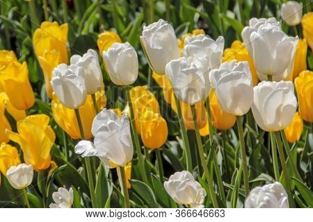 Closeup Of White And Yellow Tulips Flowers With Green Leaves In The Park Outdoor. Warm Jovial Spring
